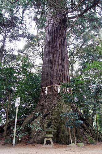 160316側高神社千年杉①