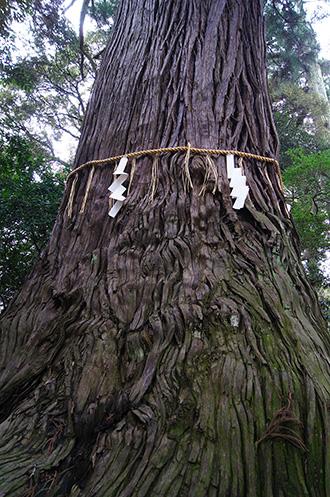 160316側高神社千年杉⑥