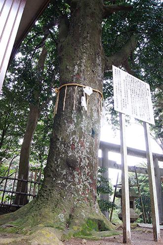 160316側高神社千年杉⑨