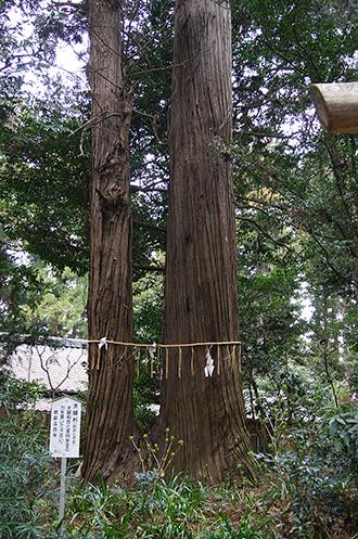 160316側高神社千年杉⑪
