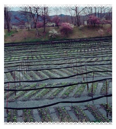 わさび農園1