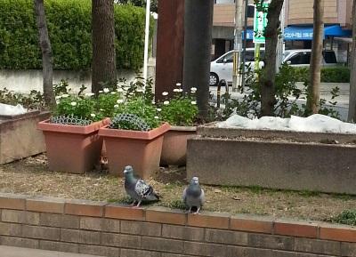 鳩さんカップル②