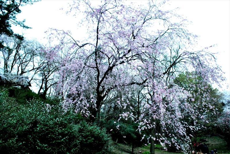 sakuraa001_R.jpg