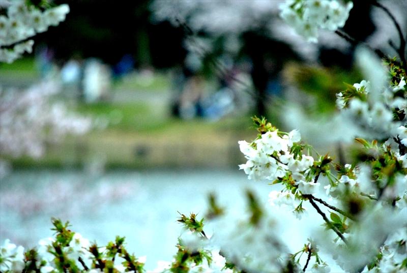 sakuraa006_R.jpg
