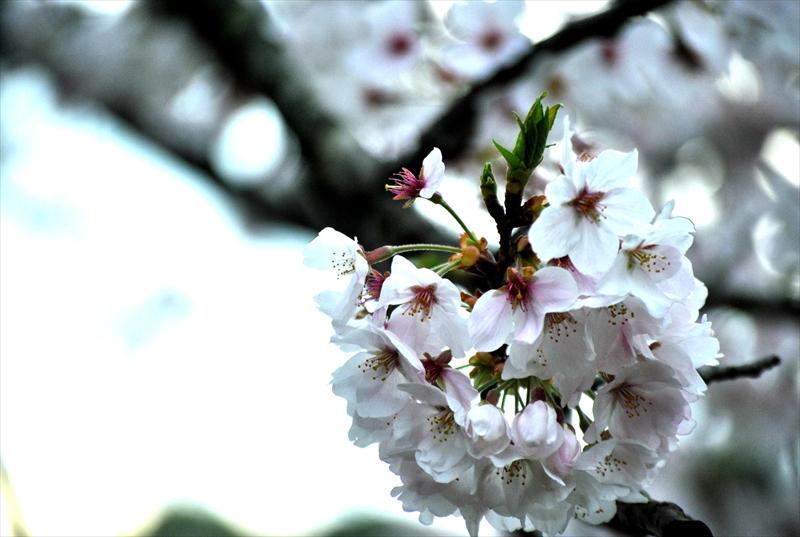 sakuraa007_R.jpg