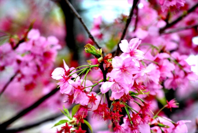 sakuraa011_R.jpg