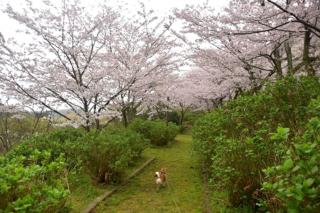 早朝桜さんぽ