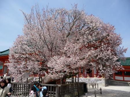 10-090405 平安神宮左近の桜