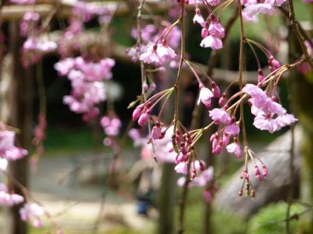 09-090405 平安神宮 園内のしだれ桜