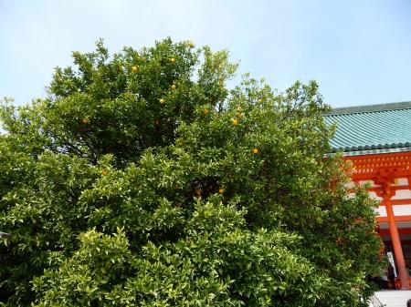 11-090405 平安神宮右近の橘