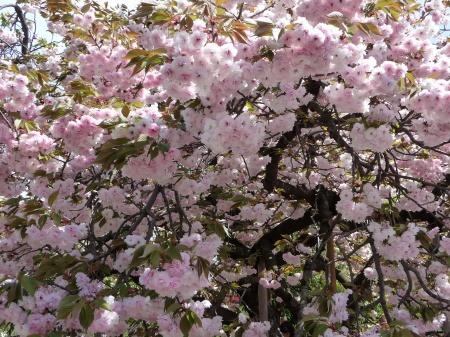15-090412 大阪造幣局の桜の通り抜けー2