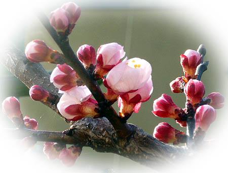 杏 開花宣言