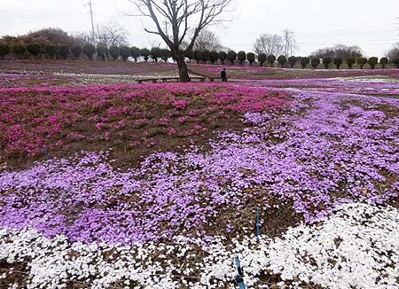 芝桜公園3