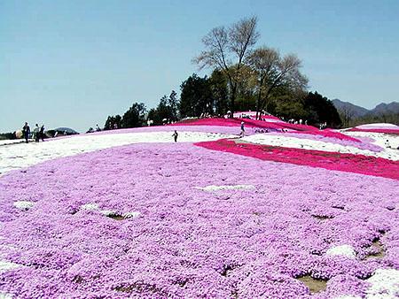 芝桜公園4