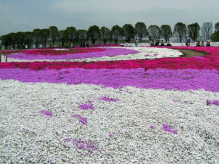 芝桜公園5