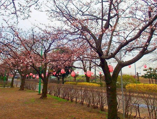 201604 公園 桜祭り 二分咲き