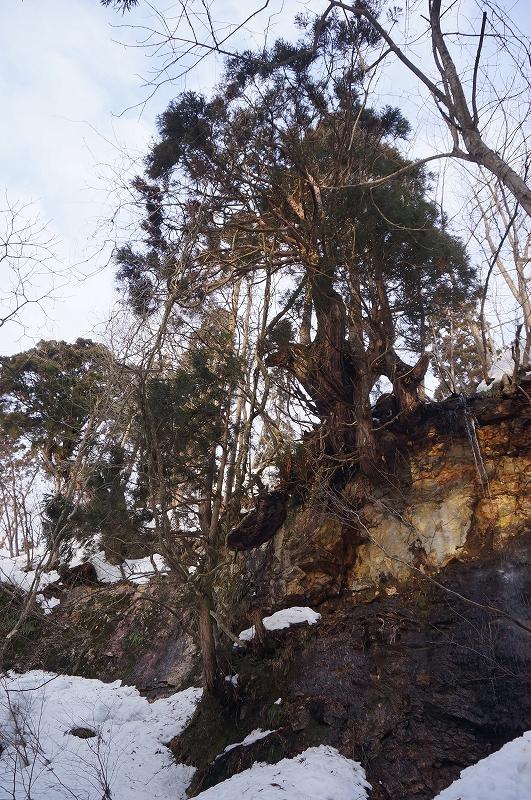 明礬岩の大杉