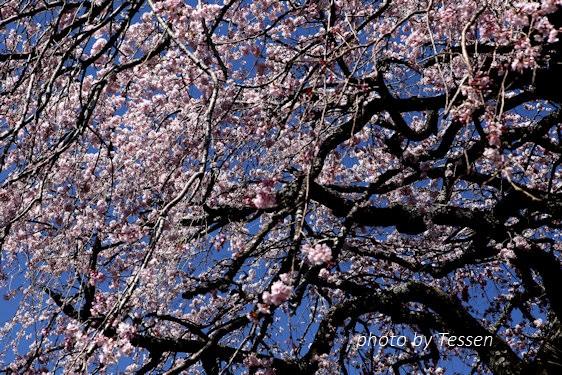 IMG_1494桜