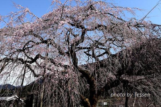 IMG_1460桜