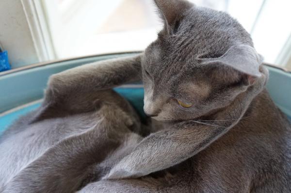 korat cat コラット3