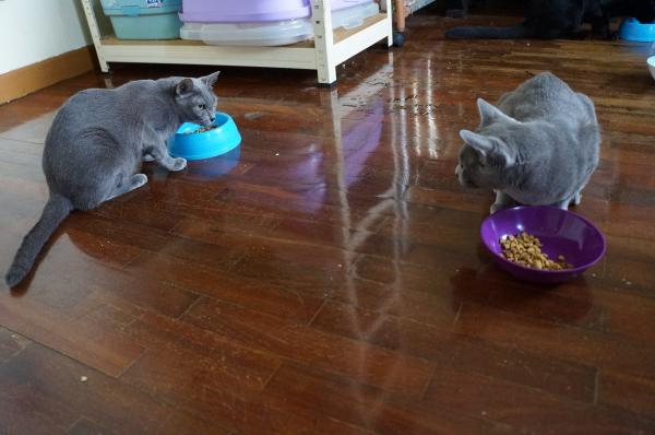 korat cat mei vs momo