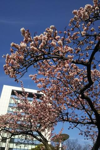 両国橋の一番桜