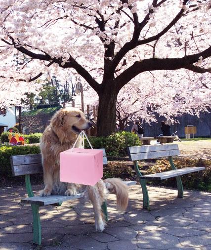 マロンと桜