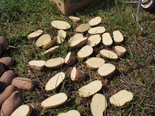500ジャガイモの植え付け160312003