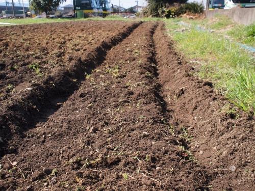500ジャガイモの植え付け160312004
