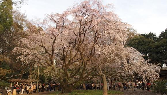 六義園のしだれ桜-2