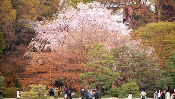 六義園のしだれ桜-3
