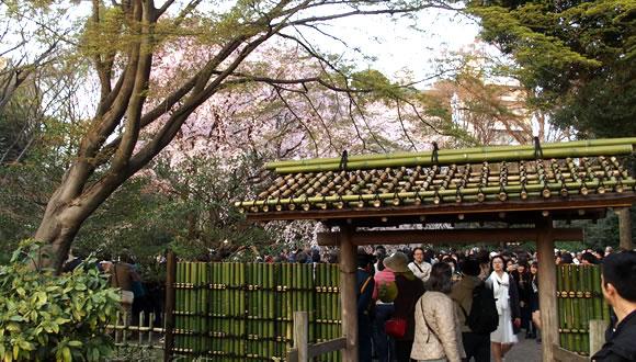 六義園のしだれ桜(2)-5