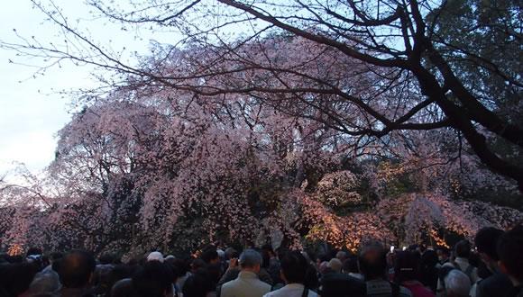 六義園のしだれ桜-4