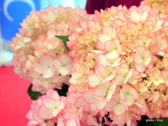 紫陽花「未来」