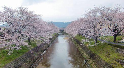 2016sakura4.jpg