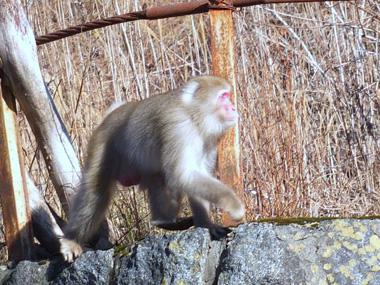 6野生の猿1224