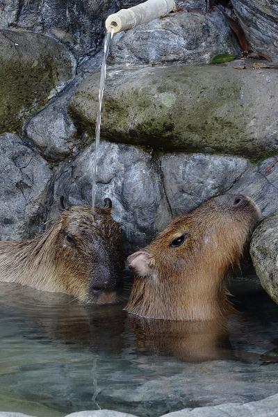 とべ動物園 カピバラ打たせ湯 151218 05