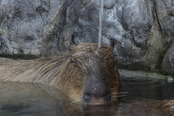 とべ動物園 カピバラ打たせ湯 151218 07