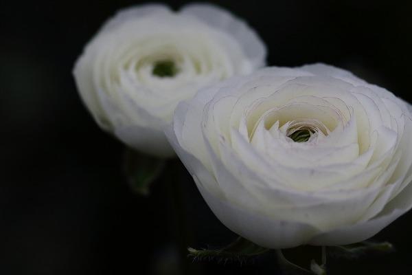花き研究指導室 ラナンキュラス 151223 05