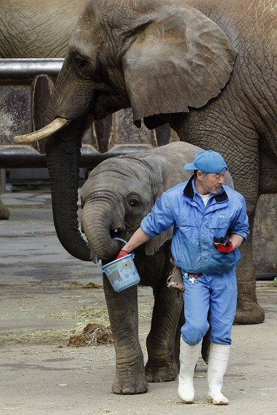 TobeZOO アフリカゾウ訓練 160123 07