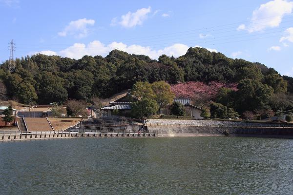 藤山文化公園河津桜 160221 01
