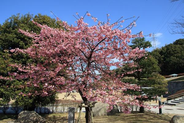 藤山文化公園河津桜 160221 02