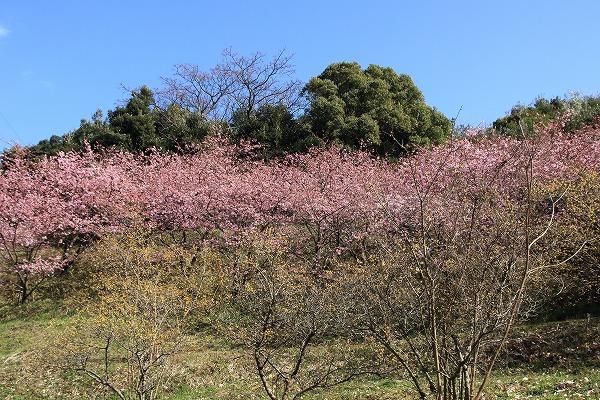 藤山文化公園河津桜 160221 03