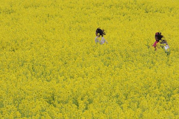 見奈良菜の花 160306 05