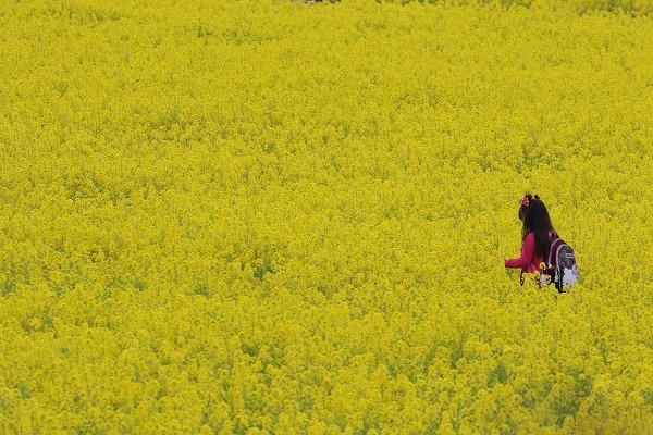 見奈良菜の花 160306 07