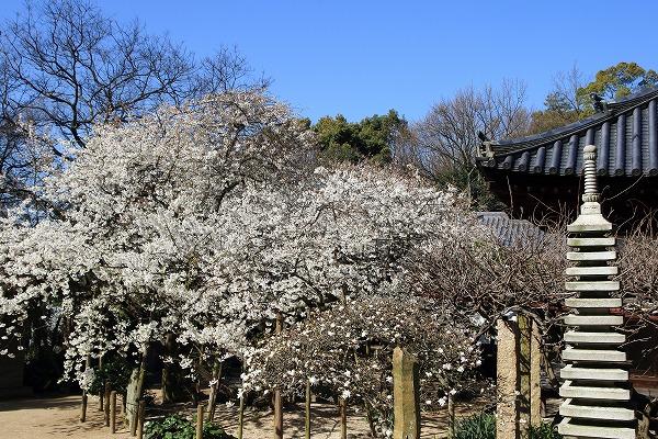 大宝寺乳母桜 160322 04