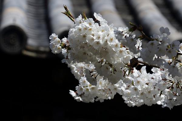 大宝寺乳母桜 160322 05
