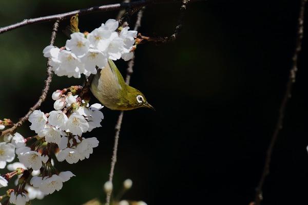 大宝寺乳母桜&メジロ 160322 03