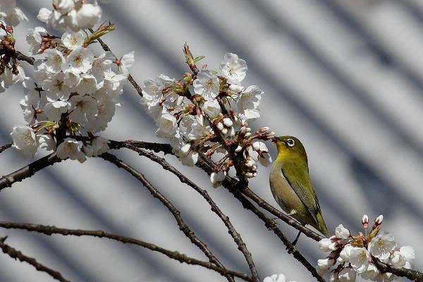 大宝寺乳母桜&メジロ 160322 04
