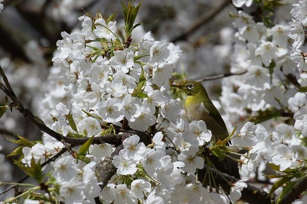 大宝寺乳母桜&メジロ 160322 05